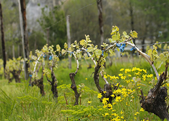 vineyard-mecedonia